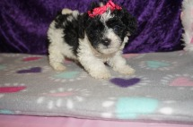 Morgan Drysdale Female CKC Maltipoo $1750 Ready 2/23 SOLD MY NEW HOME IS IN GAINESVILLE,FL! 1.2lbs 6 weeks old