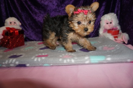 Olive Female CKC Yorkie $2000 Ready SOLD MY NEW HOME ORLANDO, FL 8wk5d old