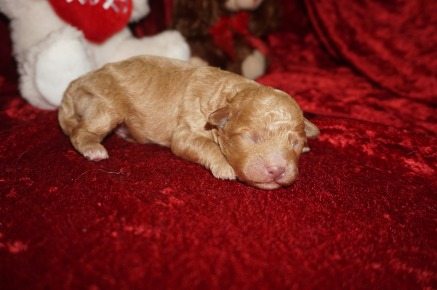 Peter Pan Male CKC Shihpoo $2000 Ready 3/30 HAS DEPOSIT MY NEW HOME VERO BEACH, FL 9.7 oz 2 Days Old