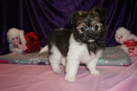 Pookie Male Miki $2000 Ready 2/14 SOLD! MY NEW HOME ORLANDO, FL 1.14lbs 7wk4d old