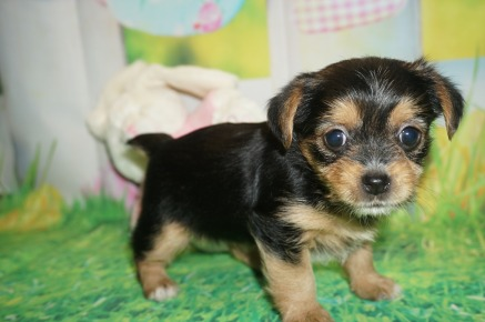 Princess Di (Roxie) Female CKC Shorkie $1750 Ready 4/6 HAS DEPOSIT MY NEW HOME JACKSONVILLE, FL 1.9 lbs 5W2D Old
