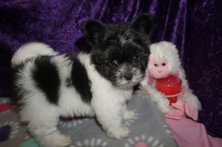 Pucker Male Miki $2000 Ready 2/14 SOLD! MY NEW HOME GREEN COVE SPRINGS, FL 2.1LBS 7WK4D OLD