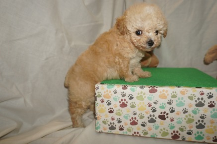 Puddles Male CKC Mini Labradoodle $2000 Ready 3/2 SOLD MY NEW HOME FLEMING ISLAND, FL 1.8 lbs 6W3D old