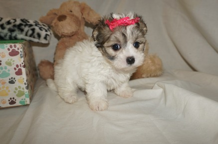 Sabrina Female CKC Havamalt $1750 Ready 3/8 HAS DEPOSIT MY NEW HOME WILMINGTON, NC 1.13 LBS 6W1D OLD