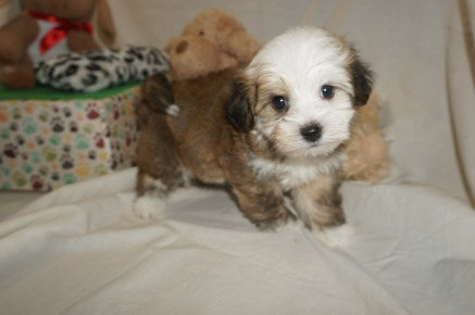 Spanky Male Havanese $1750 Ready 3/7 SOLD MY NEW HOME JACKSONVILLE, FL 2 lbs 6W2D Old