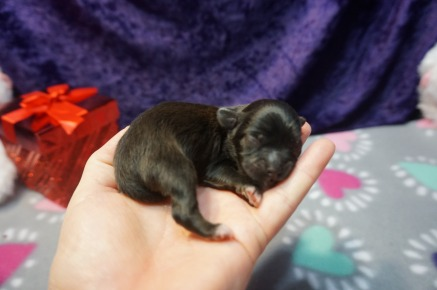 Twinkie Male CKC Miki $2000 Ready 4/6 AVAILABLE 4.5 oz 1 Day Old