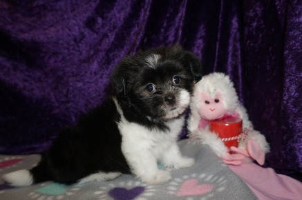 Valentino Male Miki $2000 Ready 2/14 SOLD My new home is in St. Augustine, FL! 2lbs 7wk4d old