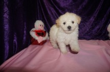 Woodrow Tyler Male CKC Maltipoo $1750 Ready 2/23 SOLD MY NEW HOME PONTE VEDRA, FL 1.13lbs 6qk4d weeks old