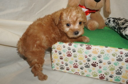 Zayda Female CKC Schnoodle $2000 Ready 3/8 HAS DEPOSIT! My new home is in Jax, FL 1.10 lbs 6W1D Old
