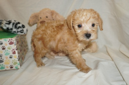 Zeke Male CKC Schnoodle $2000 Ready 3/8 SOLD MY NEW HOME OCALA, FL 2.3 lbs 6W1D Old