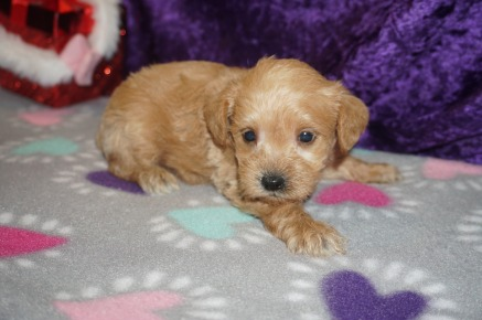 Zeus Male CKC Schnoodle $2000 Ready 3/8 HAS DEPOSIT MY NEW HOME New York, NY 1.9lbs 4wk2d old