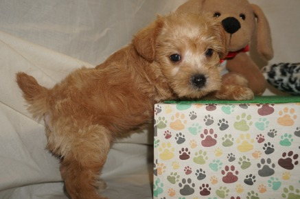Zeus Male CKC Schnoodle $2000 Ready 3/8 SOLD MY NEW HOME New York, NY 2.1 lbs 6W1D Old