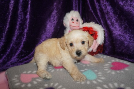 Zoi Female CKC Schnoodle $1750 Ready 3/8 HAS DEPOSIT MY NEW HOME JACKSONVILLE, FL 1.10 LBS 4WK2D OLD