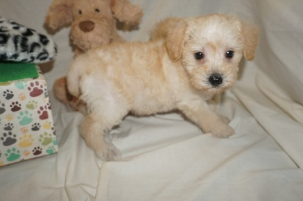 Zoi Female CKC Schnoodle $1750 Ready 3/8 SOLD MY NEW HOME JACKSONVILLE, FL 2.7 lbs 6W1D Old