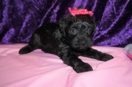 Ziva Female CKC Schnoodle $1750 Ready 3/8 AVAILABLE 1.8lbs 4wk2 old