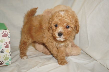 Blossom Female CKC Mini Labradoodle $2000 Ready 3/2 SOLD MY NEW HOME JACKSONVILLE, FL 1.9 lbs 6wk3d old