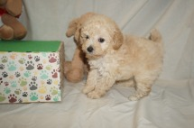 Bud Male CKC Mini Labradoodle $2000 Ready 3/2 SOLD MY NEW HOME TAMPA, FL 1.8lbs 6W3D old