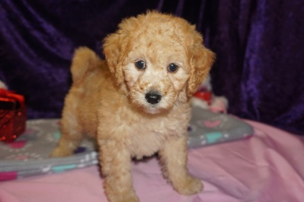 Cupid Male CKC Mini Labradoodle $2000 Ready 2/10 SOLD MY NEW HOME JACKSONVILLE, FL 3.13lbs 8wks old