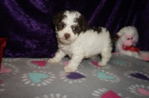 Elly May Clampett Female CKC Maltipoo $2000 Ready 2/23 SOLD MY NEW HOME WILLISTON, FL 1.12lbs 6weeks old