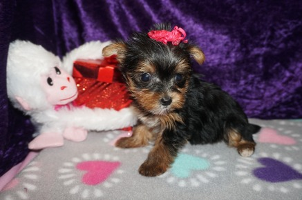 Foxy Female CKC Morkie $2000 Ready 2/20 SOLD MY NEW HOME JACKSONVILLE, FL 1.2lbs 6wk5d old