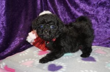 Hallmark Female CKC Mini Labradoodle $2000 Ready 2/10 SOLD MY NEW HOME FLEMING ISLAND, FL 1.14lbs 8wks old