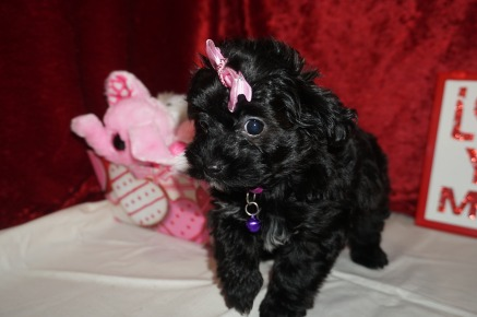 Itsy Female CKC T-Cup Yorkipoo $1750 Ready 1/30 HAS DEPOSIT MY NEW HOME MACCLENNY, FL! 2.2 lbs 8 weeks old