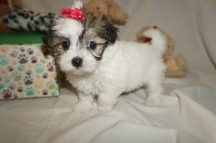 Jill (Hela) Female CKC Havamalt $1750 Ready 3/8 SOLD MY NEW HOME GALLIANO, LA 1.11 LBS old 6W1D Old
