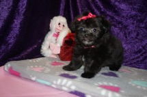 Kiss Female Miki $2000 Ready 2/14 HAS DEPOSIT MY NEW HOME LAKE MARYS, GA 1.5lbs 7wk4d old
