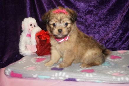 Lady Valentine Female Miki $2000 Ready 2/14 SOLD! MY NEW HOME LAKELAND, FL 2.7lbs 7wk4d old