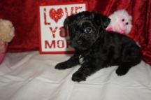 Love Bug Male CKC T-Cup Yorkipoo $1750 Ready 2/3 SOLD MY NEW HOME ST JOHNS, FL 1.14lbs 7W3D old