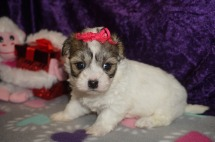 Sabrina Female CKC Havamalt $1750 Ready 3/8 HAS DEPOSIT MY NEW HOME WILMINGTON, NC 1.5LBS 4WK2D OLD