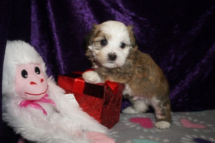 Spanky Male Havanese $1750 Ready 3/7 HAS DEPOSIT MY NEW HOME JACKSONVILLE, FL 1.14 LBS 4W3D Old