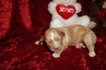 Tinker Belle Female CKC Shihpoo $2000 Ready 3/30 AVAILABLE 10.8 oz 2 Days Old