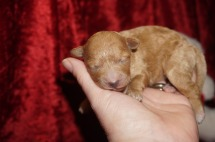 Wendy Female CKC Shihpoo $2000 Ready 3/30 HAS DEPOSIT! My new home is in Jacksonville,FL! 8.6 oz 2 Days Old