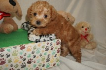 Zayda Female CKC Schnoodle $2000 Ready 3/8 SOLD My new home is in Jax, FL 1.10 lbs 6W1D Old