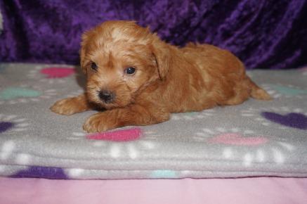 Zayda Female CKC Schnoodle $2000 Ready 3/8 AVAILABLE 1.5lbs 4wk2d old