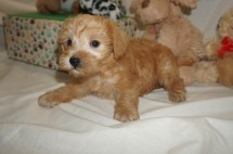 Zeke Male CKC Schnoodle $2000 Ready 3/8 HAS DEPOSIT MY NEW HOME OCALA, FL 2.3 lbs 6W1D Old