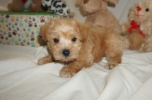Zeus Male CKC Schnoodle $2000 Ready 3/8 HAS DEPOSIT MY NEW HOME New York, NY 2.1 lbs 6W1D Old