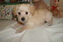 Zoi Female CKC Schnoodle $1750 Ready 3/8 HAS DEPOSIT MY NEW HOME JACKSONVILLE, FL 2.7 lbs 6W1D Old
