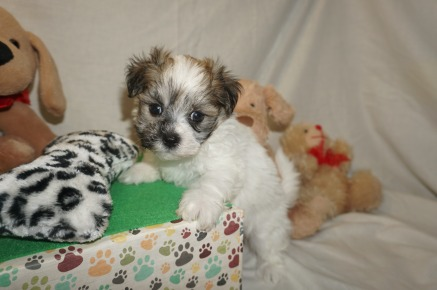 Charlie Male CKC Havamalt $1750 Ready 3/8 SOLD MY NEW HOME JACKSONVILLE, FL 1.13 lbs 6W1D old