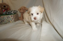Darla Female Havanese $1750 Ready 3/7 HAS DEPOSIT MY NEW HOME PONTE VEDRA BEACH, FL 2.1 lbs 6W2D Old