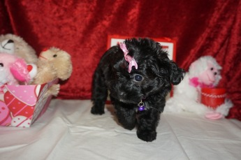 3 Itsy 2.2lbs 8wks old (27)