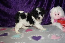 Morgan Drysdale Female CKC Maltipoo $1750 Ready 2/23 HAS DEPOSIT! MY NEW HOME IS IN GAINESVILLE,FL! 1.2lbs 6 weeks old