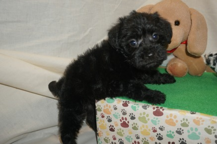 Ziva Female CKC Schnoodle $1750 Ready 3/8 SOLD MY NEW HOME JACKSONVILLE, FL 2 lbs 6W1D Old