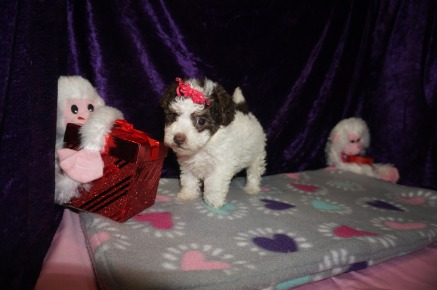 Elly May Clampett Female CKC Maltipoo $2000 Ready 2/23 HAS DEPOSIT MY NEW HOME WILLISTON, FL 1.12lbs 6weeks old