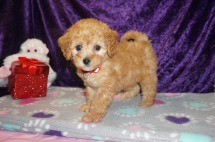 Juliet Female CKC Mini Labradoodle $2000 Ready 2/10 SOLD MY NEW HOME FLEMING ISLAND, FL 2.2lbs 8wks old