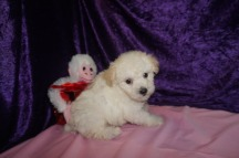 Woodrow Tyler Male CKC Maltipoo $1750 Ready 2/23 HAS DEPOSIT MY NEW HOME PONTE VEDRA, FL 1.13lbs 6qk4d weeks old