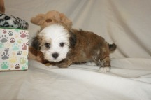 Spanky Male Havanese $1750 Ready 3/7 HAS DEPOSIT MY NEW HOME JACKSONVILLE, FL 2 lbs 6W2D Old