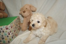 Bud Male CKC Mini Labradoodle $2000 Ready 3/2 HAS DEPOSIT MY NEW HOME TAMPA, FL 1.8lbs 6W3D old