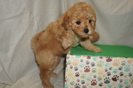 Daisy Female CKC Mini Labradoodle $2000 Ready 3/2 SOLD MY NEW HOME JACKSONVILLE, FL 1.10 lbs 6W3D old
